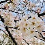 【予定どおり開催】3/30(土)Tsunagary Cafe お花見 2019(大阪)